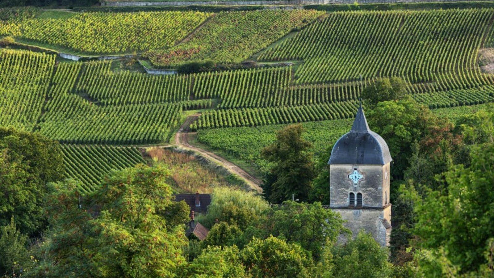 Vignes à Chambolle-Musign, en Bourgogne.