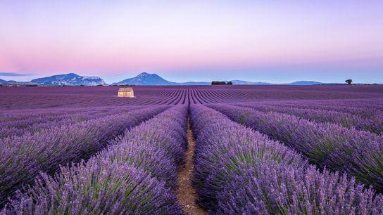 Champ de lavande, Plateau de Valensole, Provence, France.