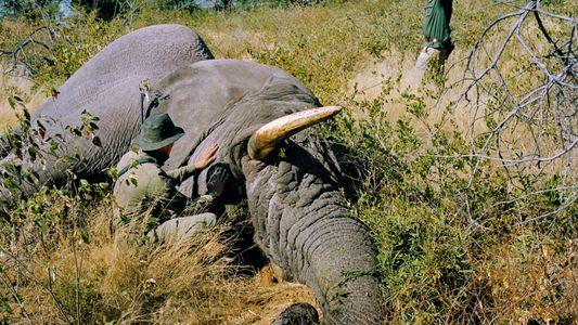 « J'ai payé 70 000 euros pour pouvoir tuer un éléphant »
