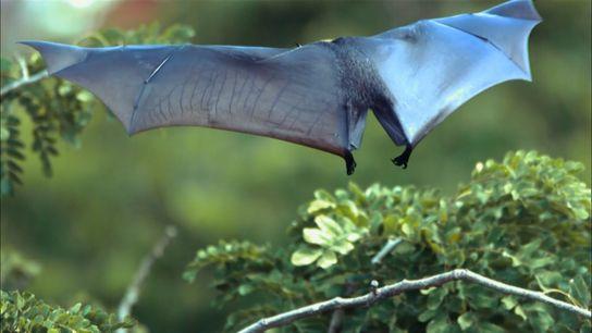 Le Renard volant des Philippines (Acerodon jubatus) ou Roussette à couronne dorée est une chauve-souris frugivore rare, endémique des Philippines.