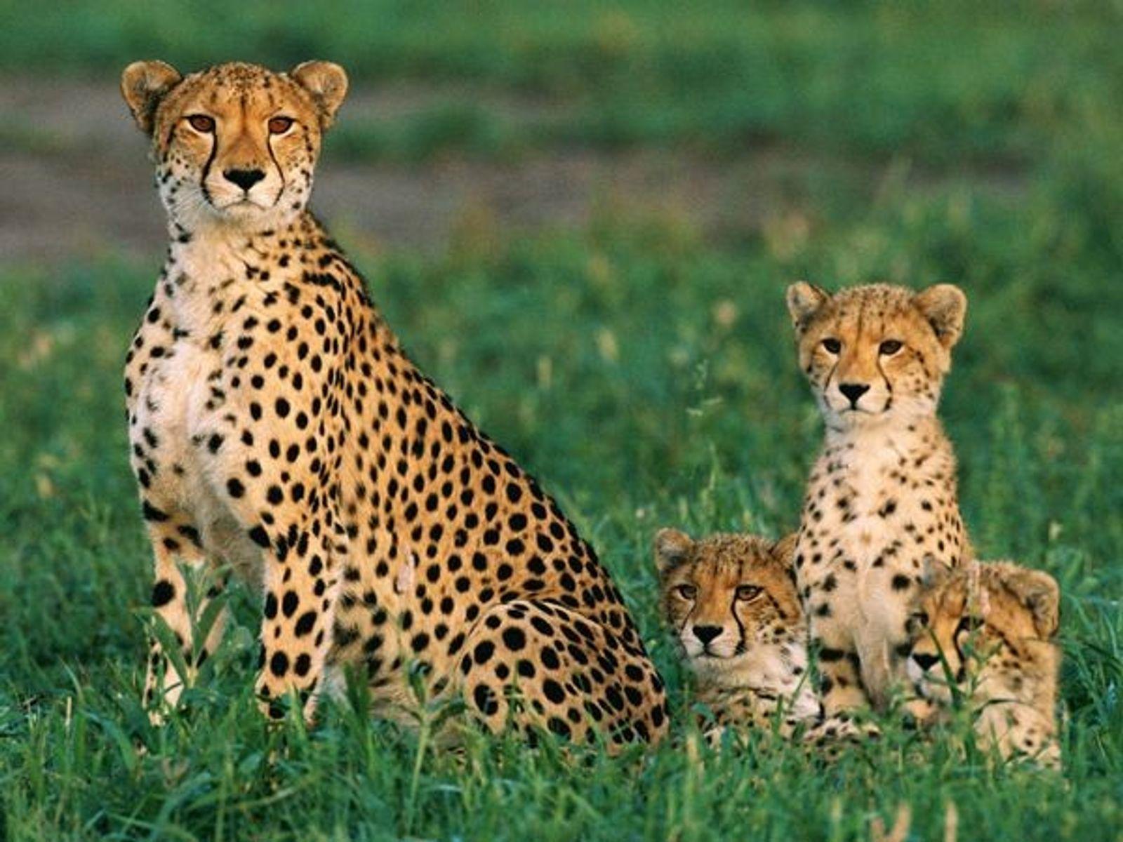 Une maman guépard et ses petits