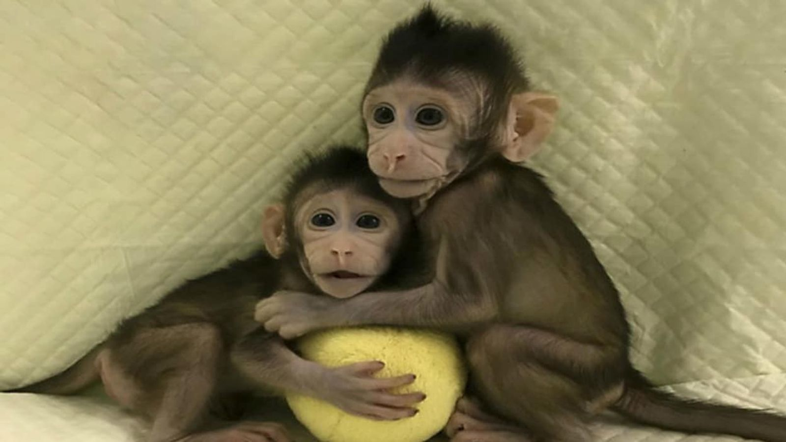 Zhong Zhong et Hua Hua, les premiers singes clonés par transfert nucléaire de cellules somatiques.
