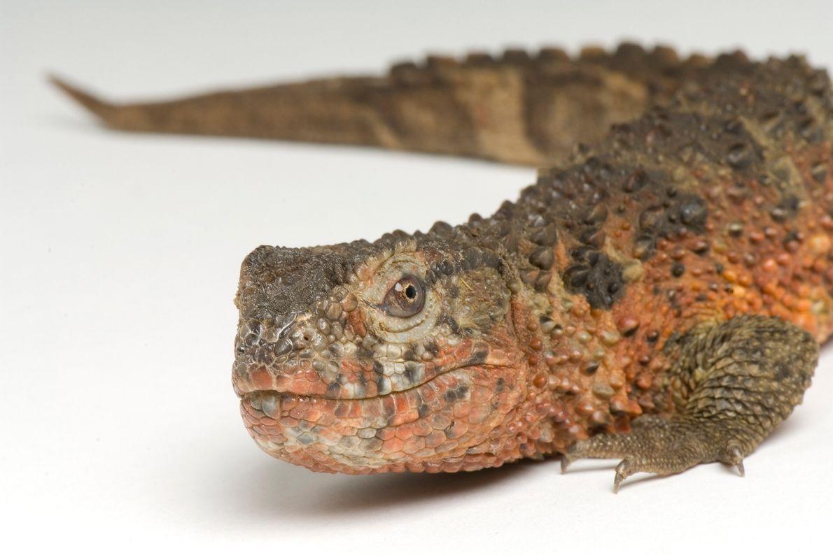 Lézard crocodile de Chine