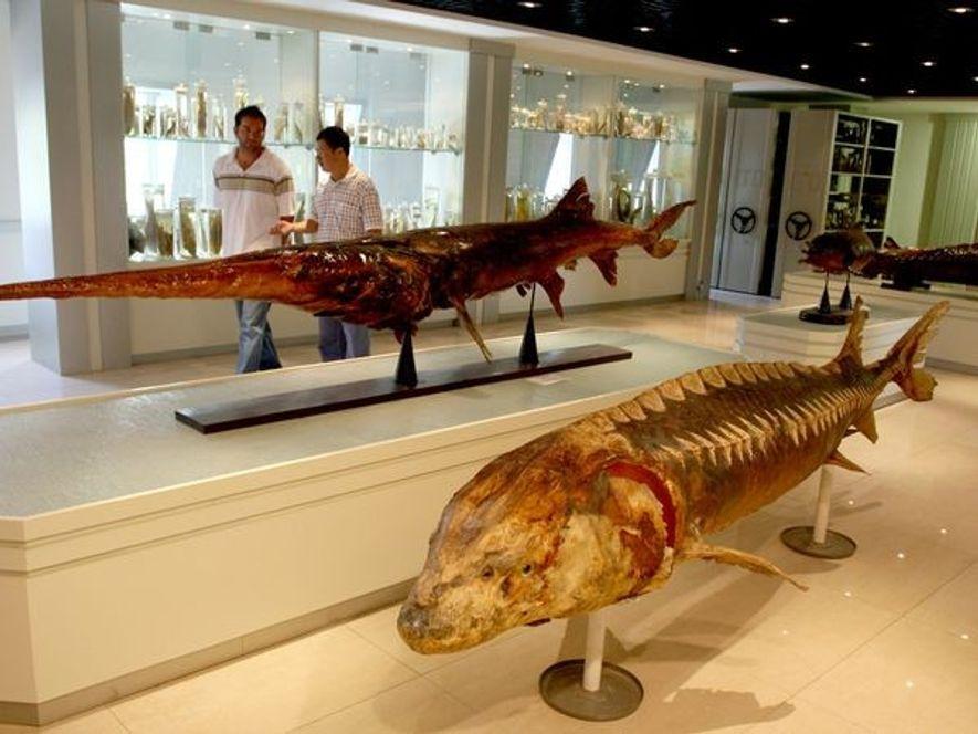 Des touristes marchent à côté d'un poisson-spatule empaillé exhibé à l'Institut de recherche halieutique du Yangtsé ...