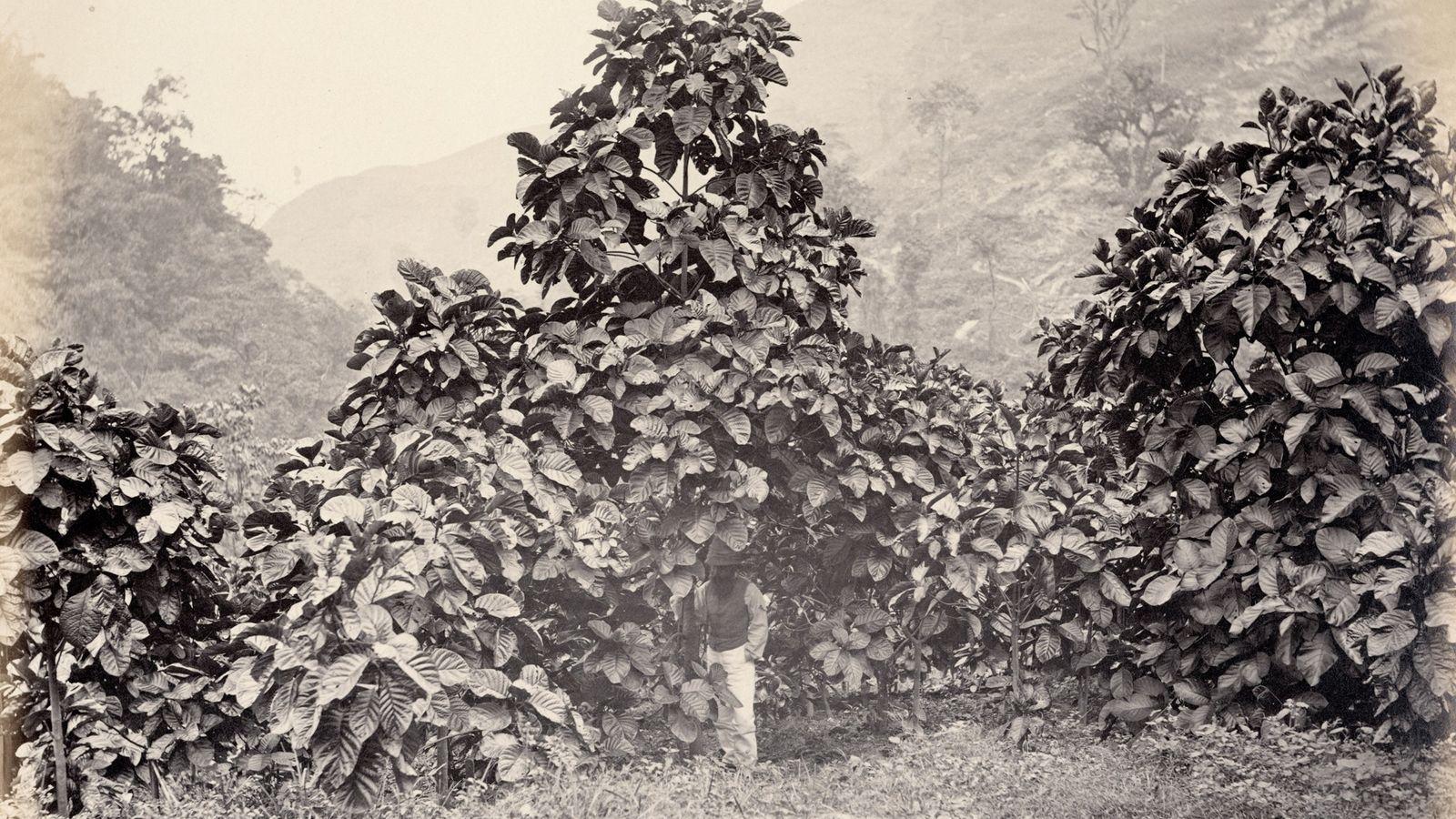 Cinchona succirubra, une variété d'arbre également connue sous le nom de Cinchona pubescens pousse sur un ...
