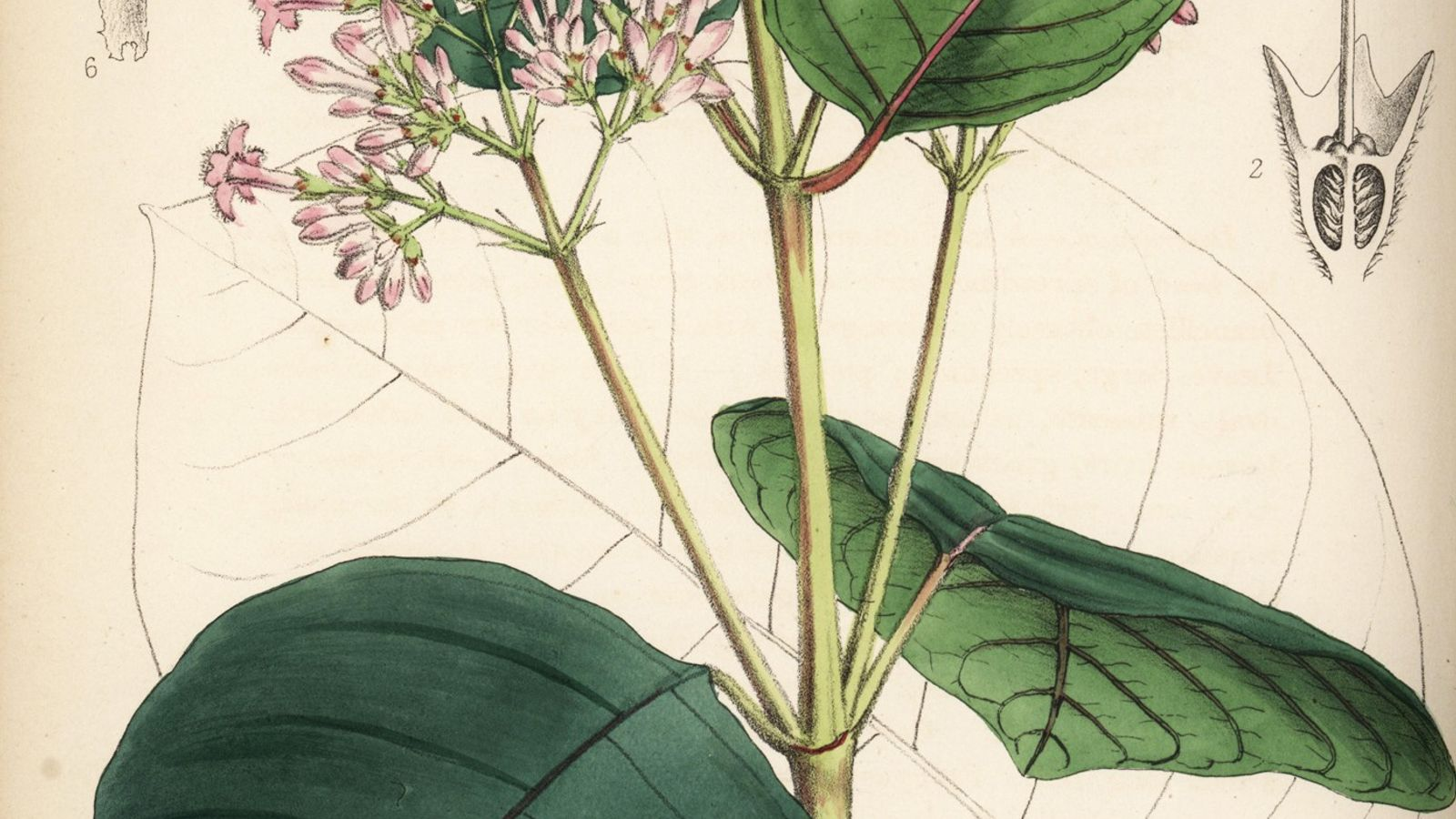 L'écorce du Cinchona pubescens, connu sous le nom de Cinchona cordifolia, contient de la quinine, le ...