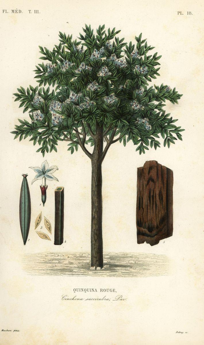 Le Cinchona pubescens, également connu sous le nom de Cinchona succirubra. Gravure sur acier peinte à ...