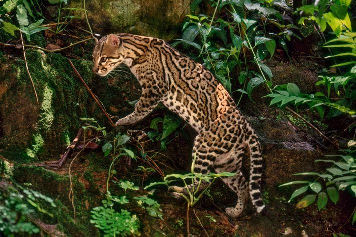Bien que les ocelots (ci-dessus un spécimen photographié au Chiapas) figurent dans la catégorie des espèces ...