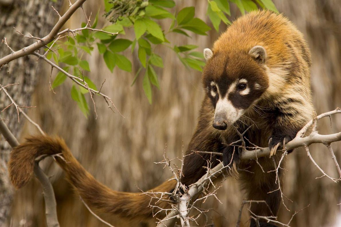 Les quatre espèces de coatis (ci-dessus, un coati à nez blanc) font partie de la famille ...