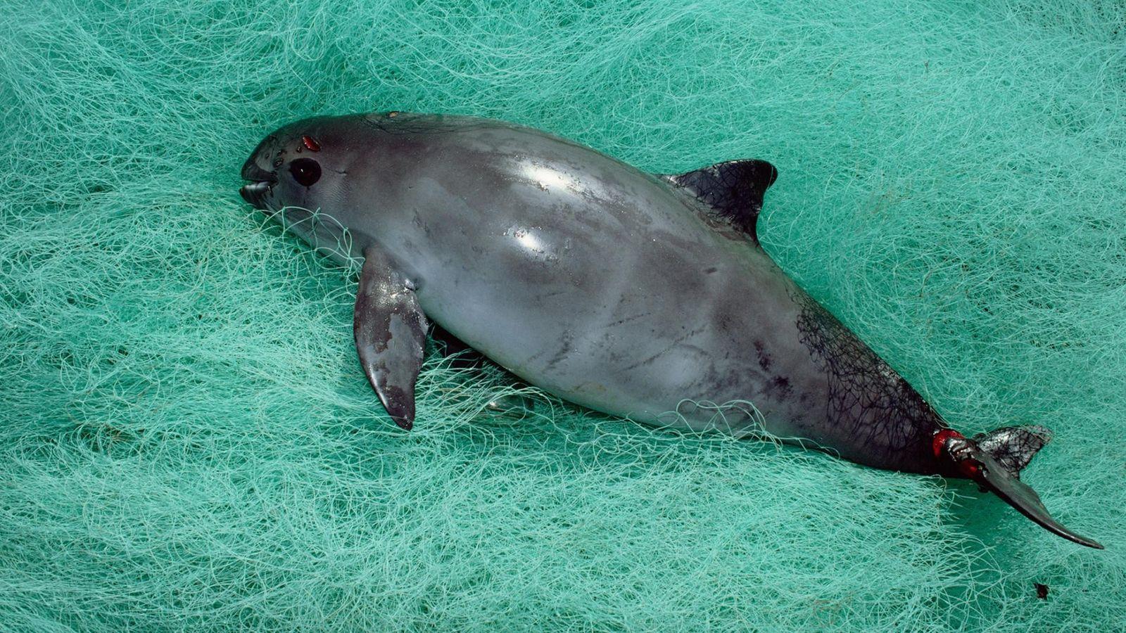 Un marsouin du golfe de Californie, espèce au bord de l'extinction, est mort après avoir été ...