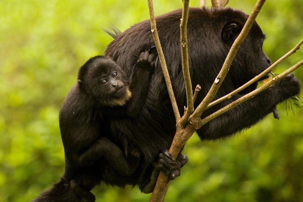 Une alouate femelle noire porte son bébé dans la réserve de la biosphère Montes Azules, au ...