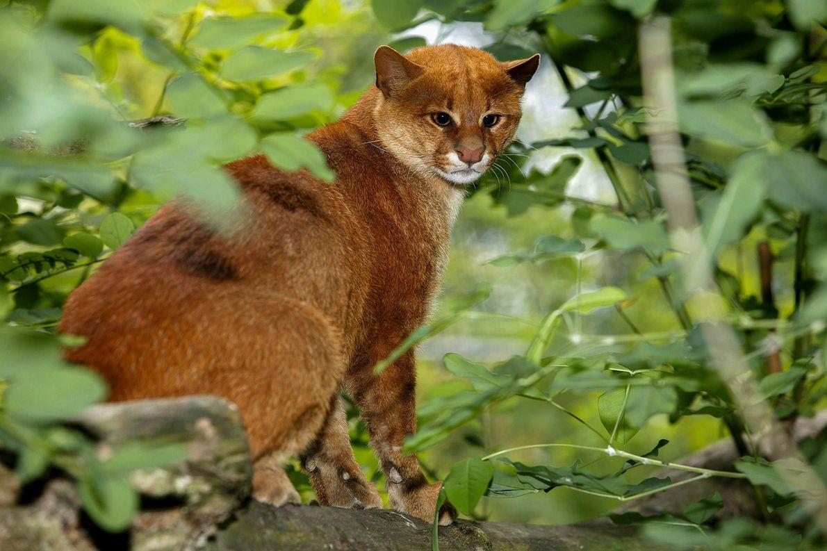 Ces chats difficiles à apercevoir, véritables chasseurs furtifs, peuvent être marrons ou noirs et pèsent entre ...