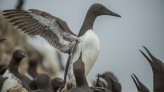 Le guillemot de Troïl est une espèce d'oiseau de mer qui se reproduit sur les îles ...