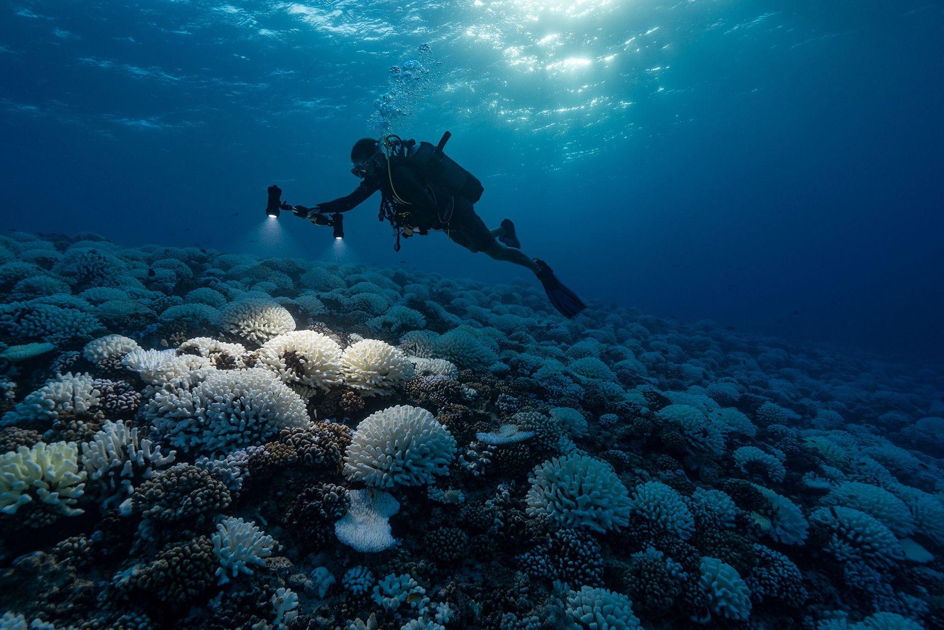 Les océans et les coraux qui y vivent subissent une pression climatique extrême et ils pourraient ...