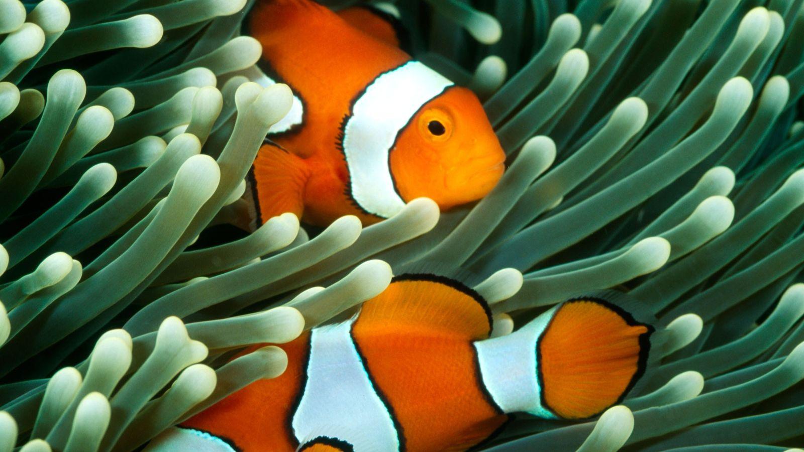 Un certain nombre d'espèces de poissons dépendent des anémones de mer pour se protéger et se ...