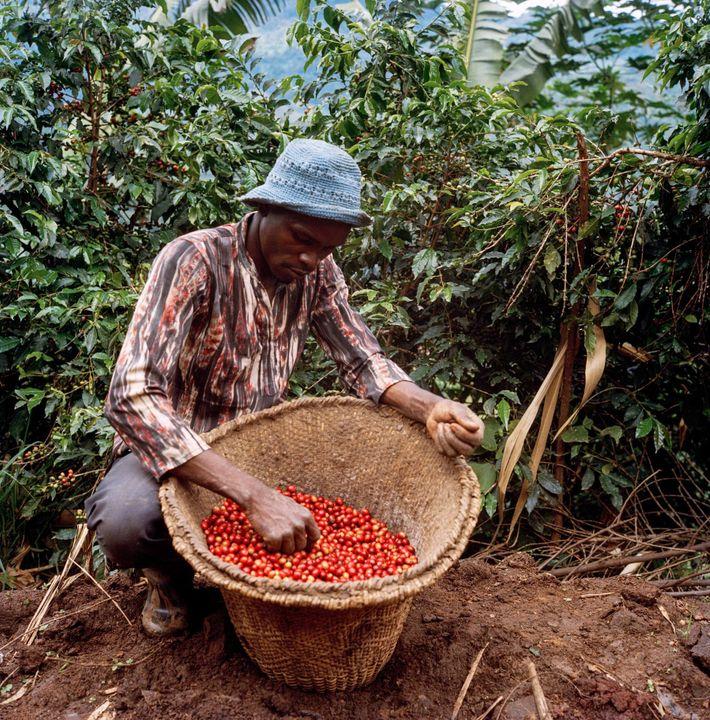 Plus lourdes et de meilleure qualité, les cerises de café bien rouges se vendent plus cher, ...