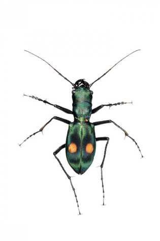 Espèce de cicindèle vivant dans l'altiplano de l'Équateur. Leurs taches orange les font ressembler aux mutilles («fourmis de velours ...