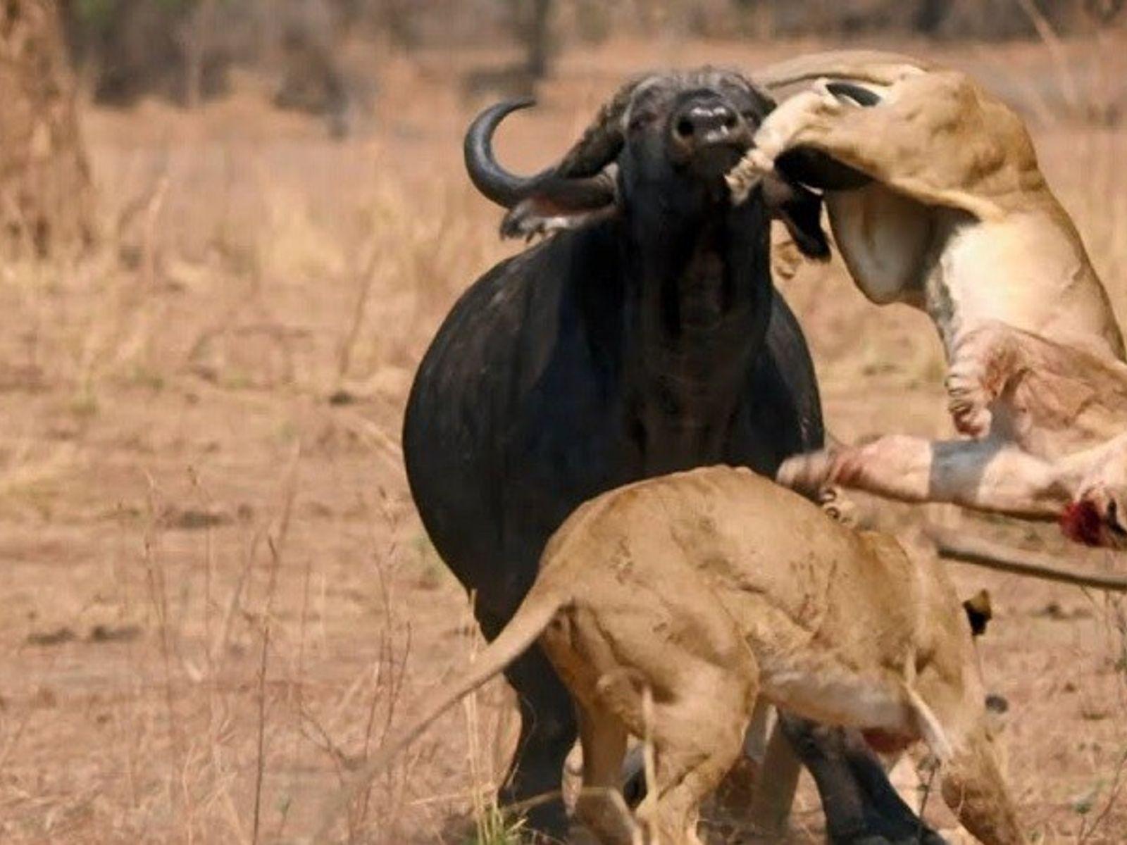 Si les lions sont de redoutables chasseurs, ils savent ce qu'il en coûte de s'en prendre ...