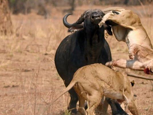 Lions et buffles : ennemis héréditaires