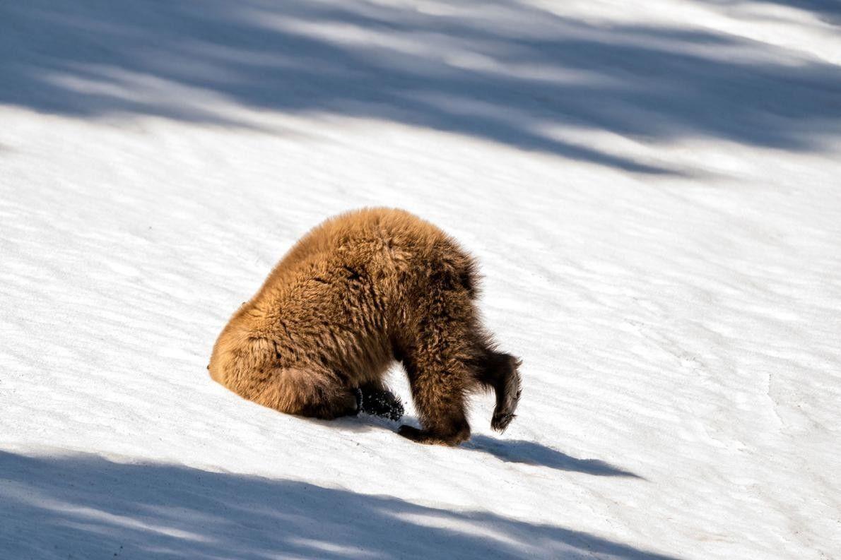 Ce grizzli du parc national de Yellowstone était apparemment mal en point.
