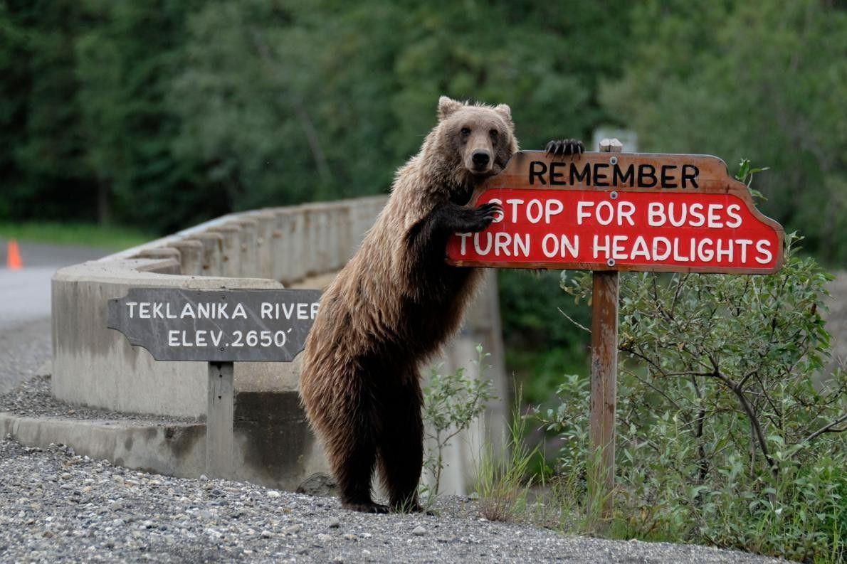 Un grizzli en Alaska veille à la sécurité des conducteurs.