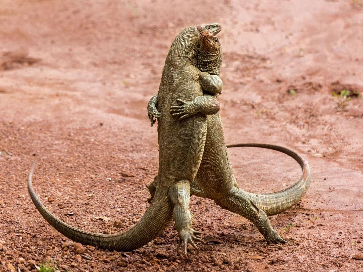 M'accordez-vous cette danse ? Deux dragons de Komodo valsent au Sri Lanka.