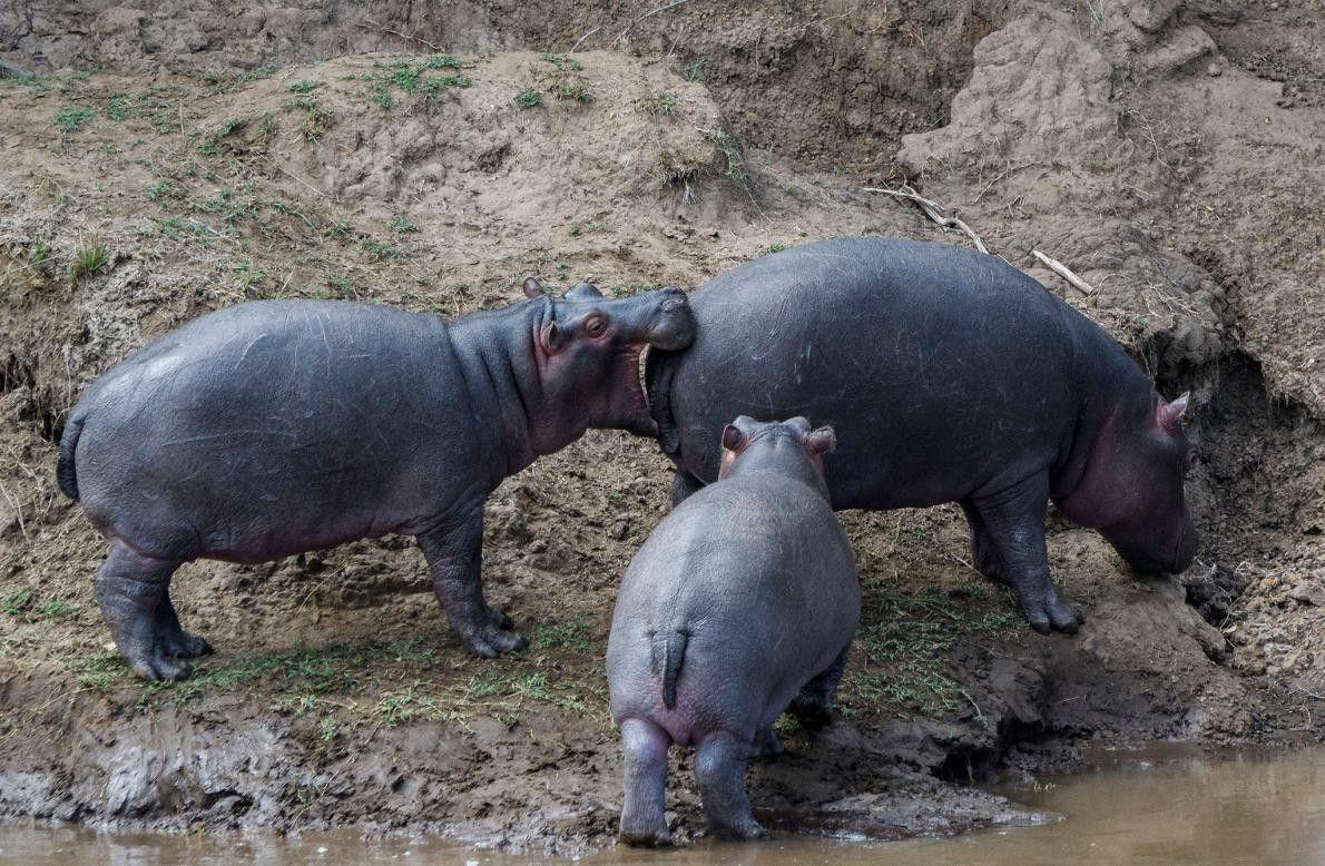 Un hippopotame a les yeux plus gros que le ventre à Maasai Mara, au Kenya.