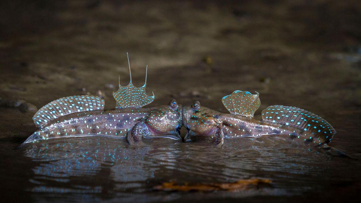 Pris en flagrant délit : deux oxudercinae à Krabi, en Thaïlande, partagent un moment intime.