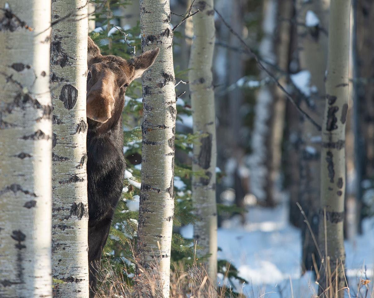 Maître du camouflage : un élan femelle passe timidement sa tête derrière un arbre en Alberta, ...