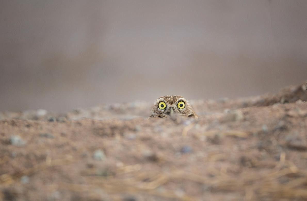 """""""Sont-ils toujours à ma recherche ?"""" Un hibou curieux lève doucement sa tête du sol."""
