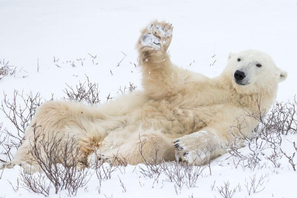 Un ours polaire soulève sa patte dans ce qui semble être un salut amical.
