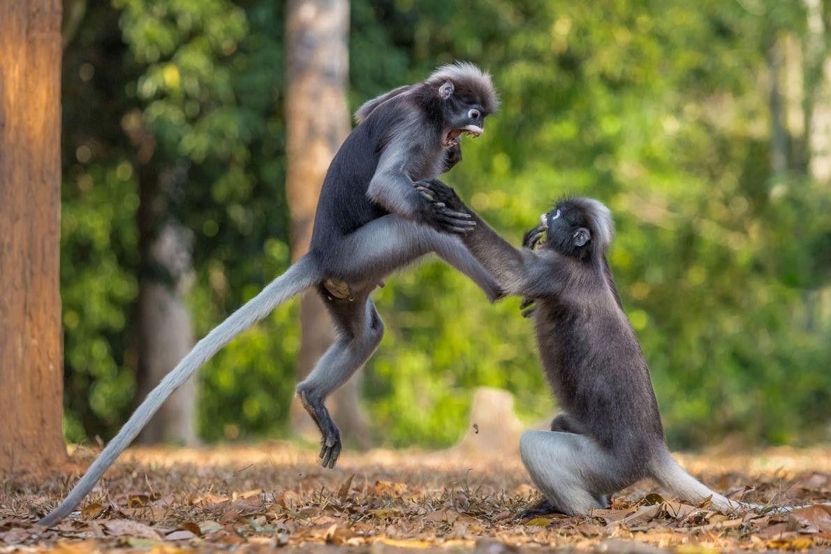 C'est moi qu'elle a vu en premier ! Deux gibbons à Kaeng Krachan, en Thaïlande, sont ...
