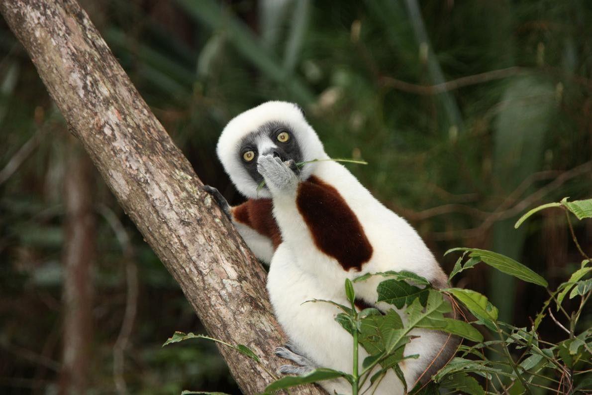 """""""Attendez, quoi ?"""" Ce sifaka, à Madagascar, a bien du mal à croire à ce qu'on ..."""
