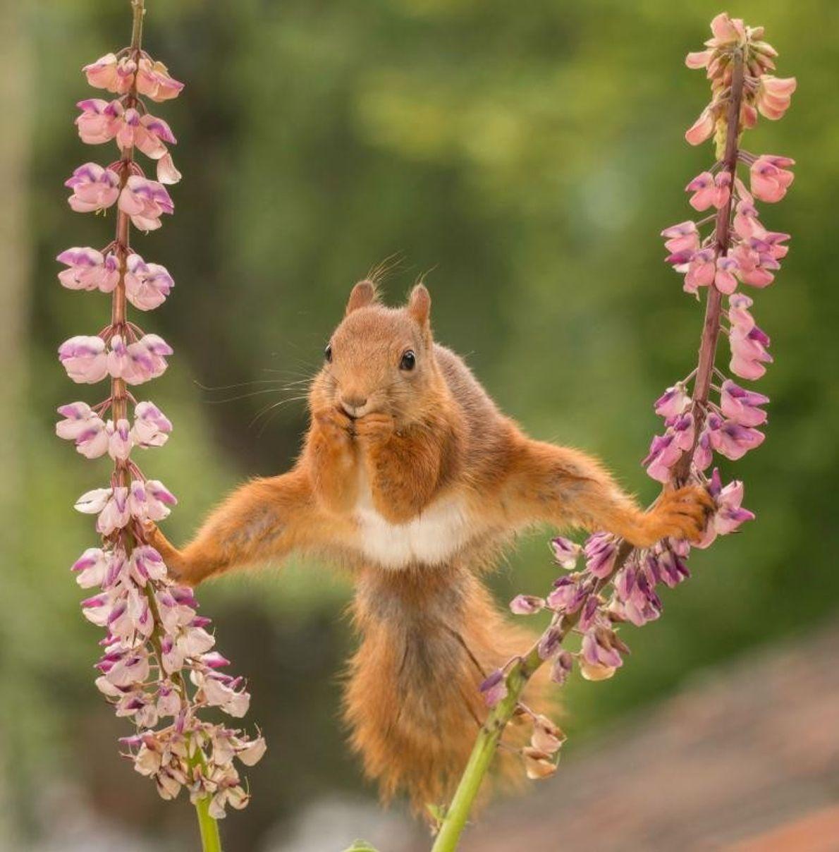 Des années de gymnastique ont finalement porté leurs fruits pour cet écureuil roux en Suède.
