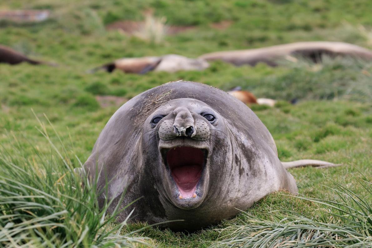 Ce phoque en Géorgie du Sud pense lui aussi que toutes ces photos sont hilarantes.