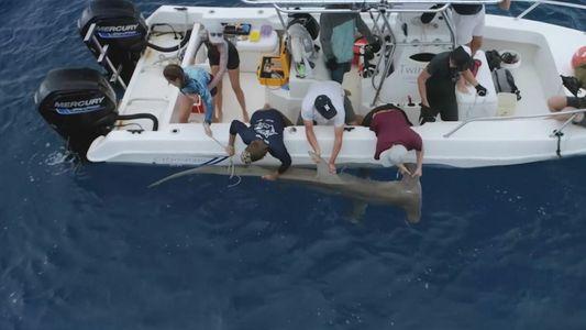 Comment réaliser une échographie sur un requin marteau de 3 mètres ?