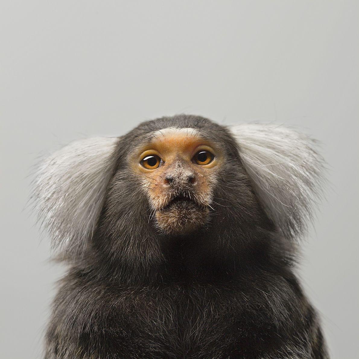À l'état sauvage, les ouistitis, un type de singes que l'on trouve en Amérique du Sud, ...