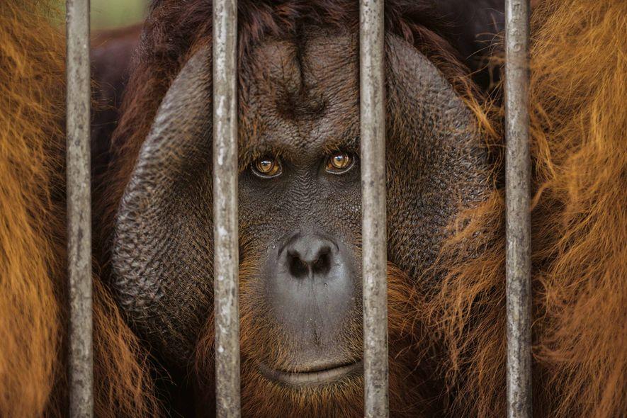 Animal domestique pendant des années, ce mâle ne pourrait plus vivre à l'état sauvage.