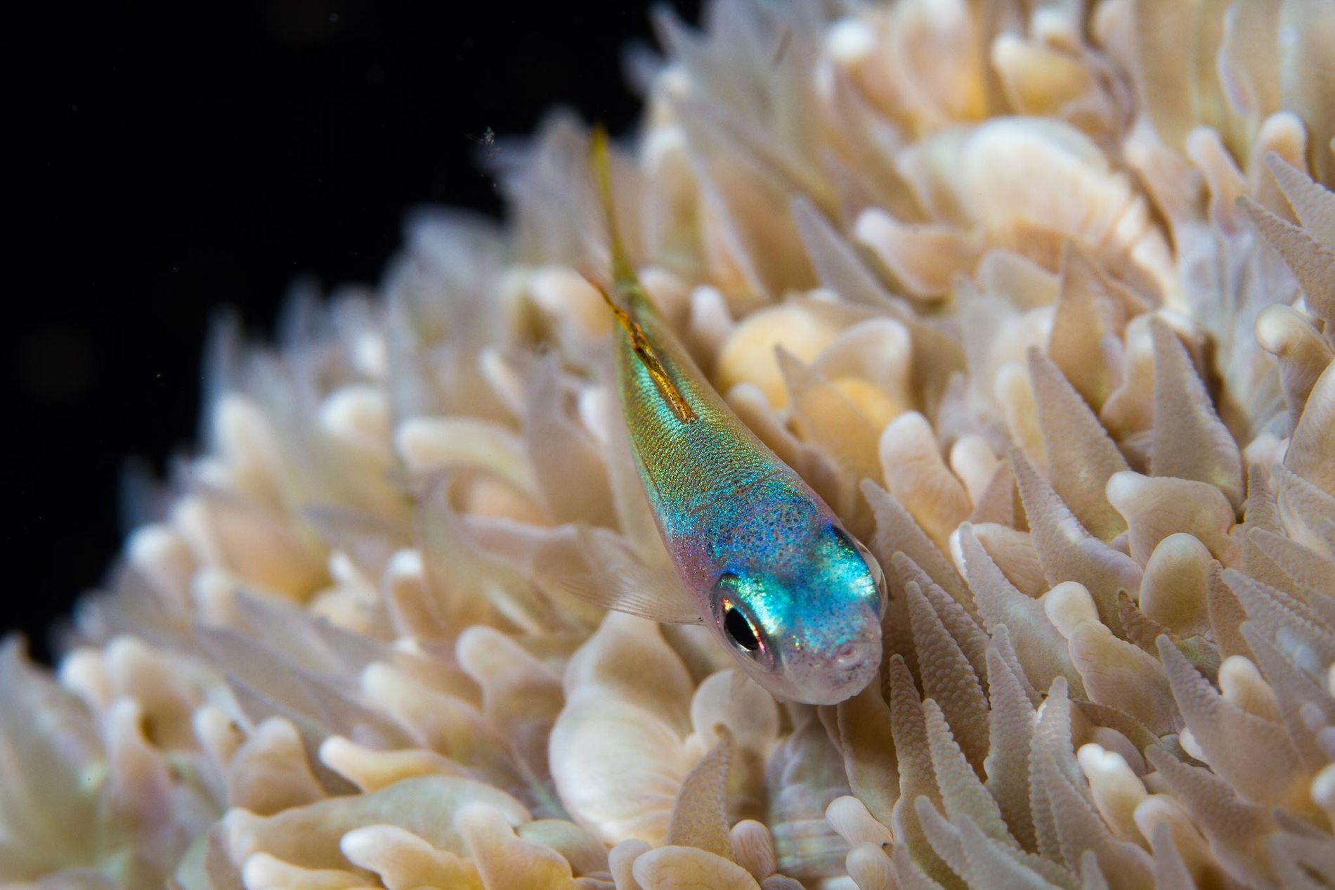 Un blennie minuscule se faufile sur un récif. Il existe 2 800 espèces de poissons des ...
