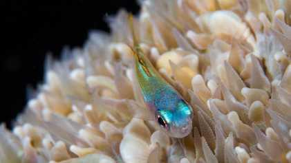 Ces minuscules poissons sont essentiels à la survie des récifs coralliens