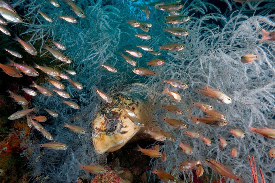 Des poissons cardinaux fusent devant les yeux d'une tortue imbriquée alors qu'elle se repose au milieu ...