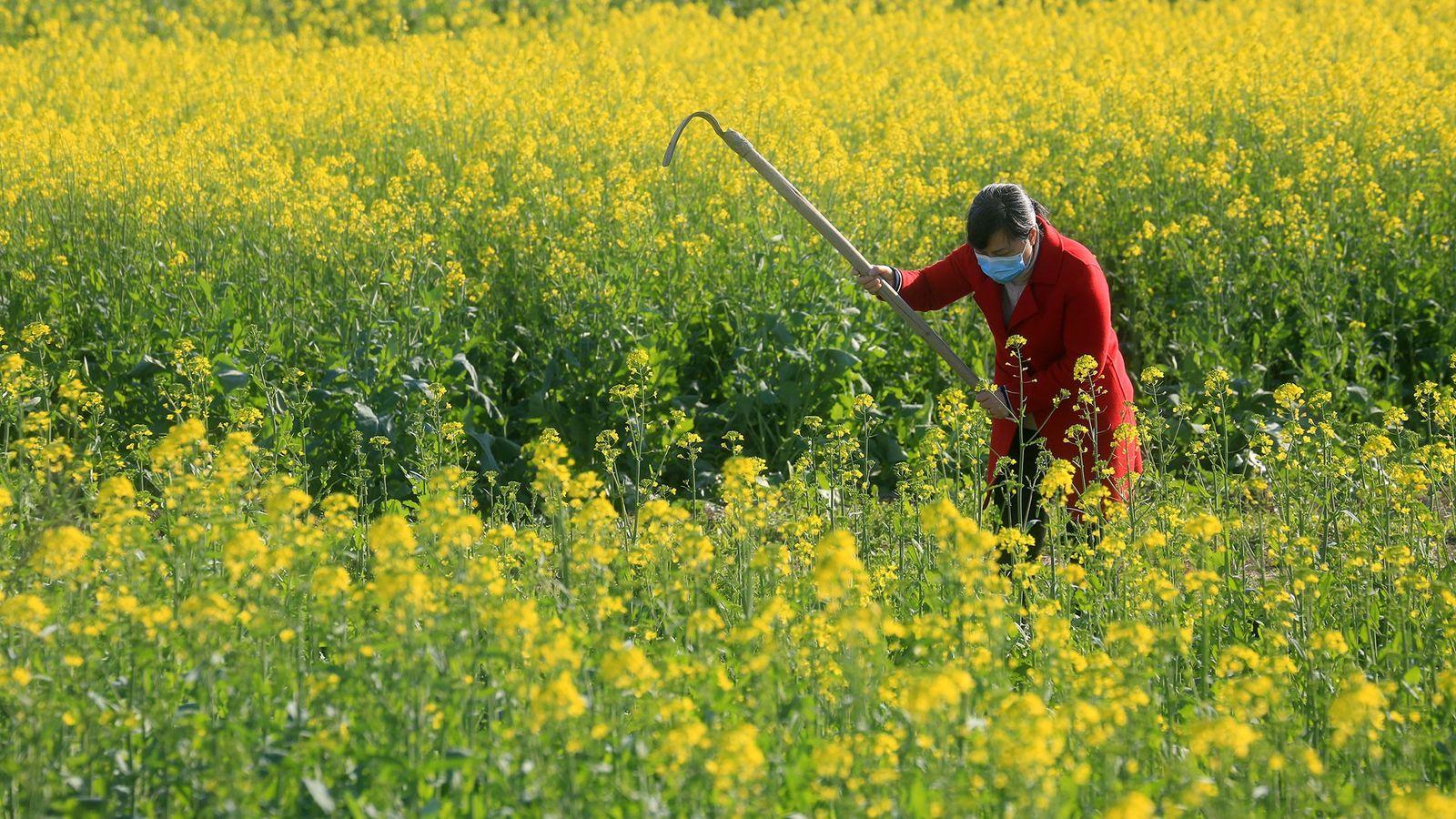 Travaillant malgré la crainte suscitée par le coronavirus, un villageois s'occupe d'un champ de la province ...