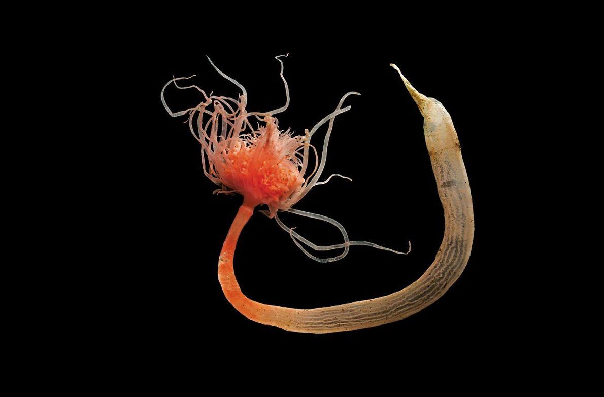 Corymorpha palma