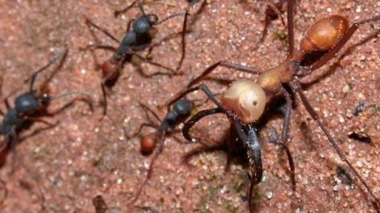 La complexité des colonies de fourmis légionnaires