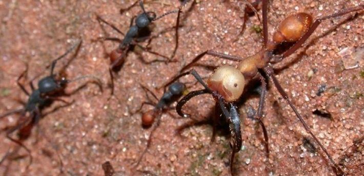 Ces fourmis dévorent absolument tout sur leur passage