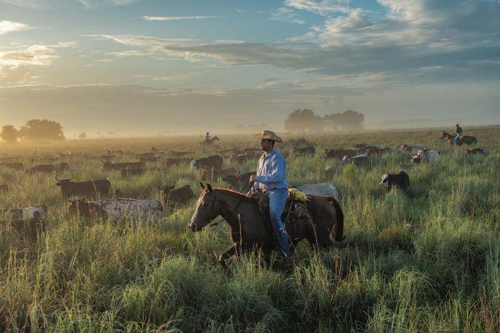 Laurent Lollis et d'autres cow-boys rassemblent le bétail, au ranch de Buck Island, en Floride. Les ...