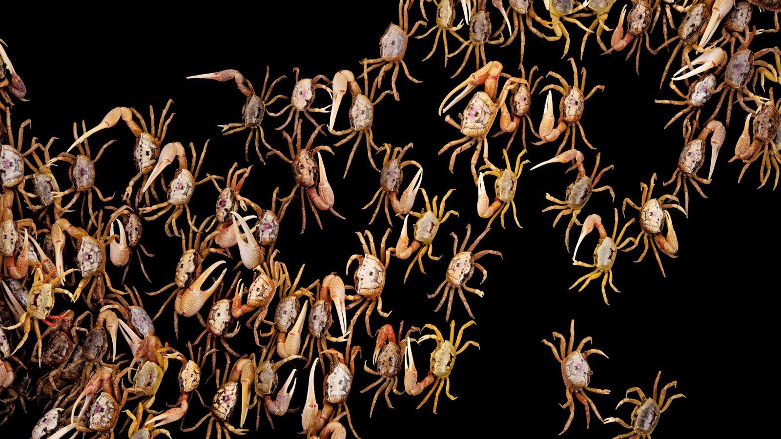 Ces crabes violonnistes ont été photographiés au laboratoire de recherche sur les animaux marins à Panacea, ...