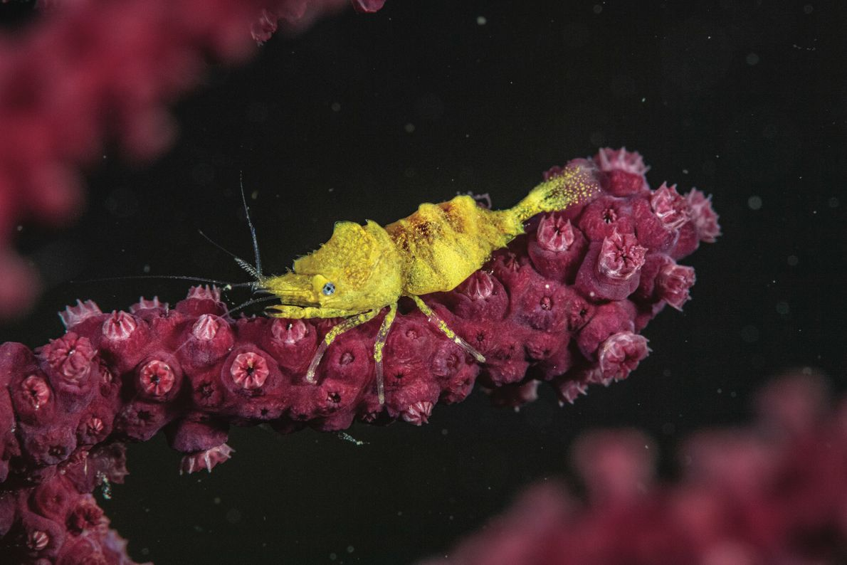 Au large de Cassis, cette crevette des gorgones semble bien mal camouflée, mais peut-être n'est-elle pas ...