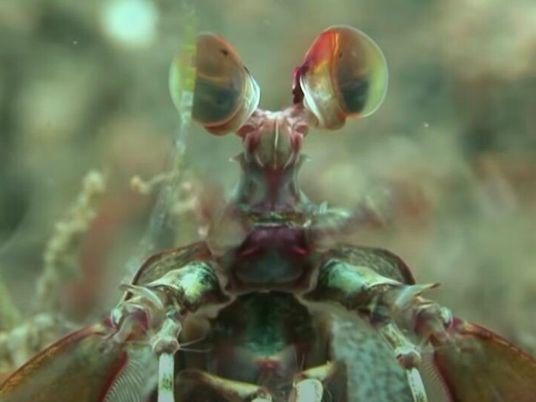 L'arsenal mortel de la crevette-mante