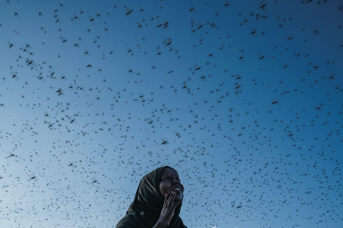 Dans le centre du Somaliland, une femme observe une nuée de criquets pèlerins envahir le ciel. ...